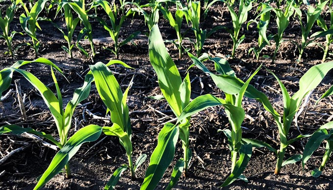 The Right Corn Population… how do you know?