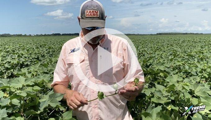 Cotton Fertility On Test Plots