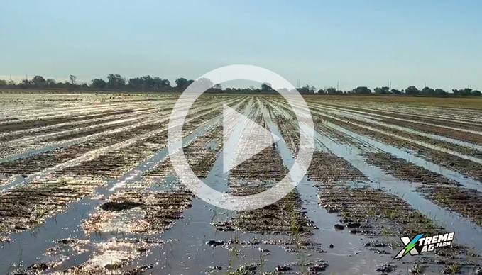 Row Rice Farming