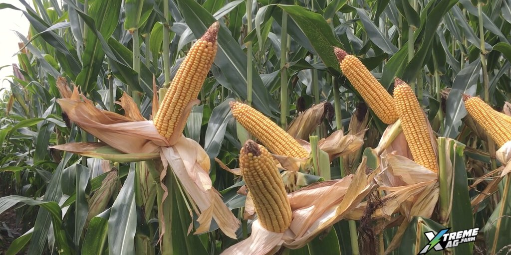 300+ BPA Corn in Challenging Soil Conditions