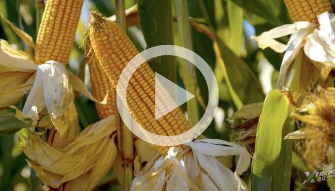 A look at Kelly's Integra Corn