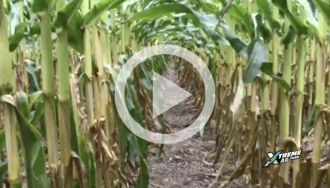 What Dan Looks For In A Corn Crop